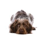 Petland Katy German Wirehaired Pointer