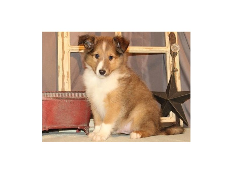 Shetland Sheepdog-Male-Sable & White-2689431-Petland Katy