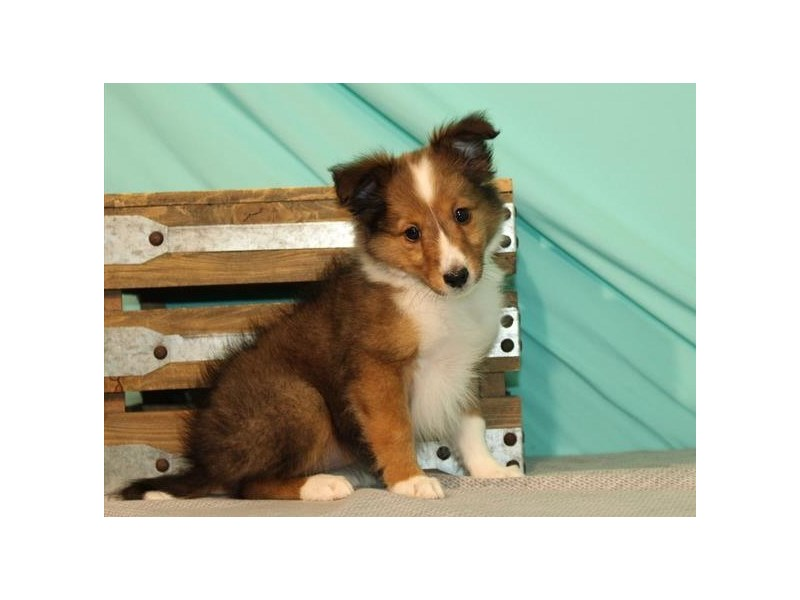 Shetland Sheepdog-Female-Sable & White-2729805-Petland Katy
