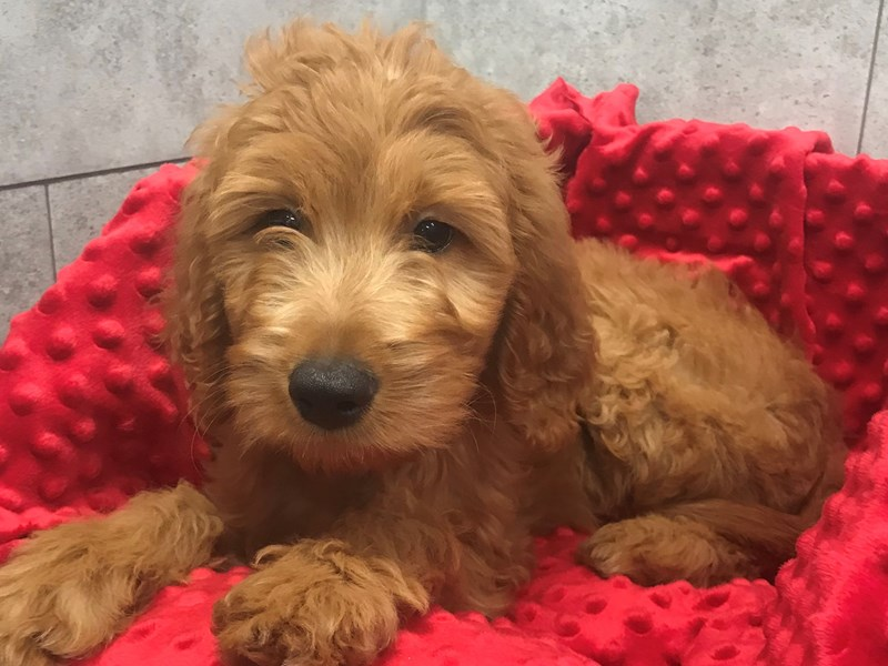 Goldendoodle-Male-Red-2827331-Petland Katy