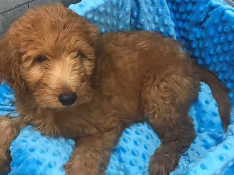 Goldendoodle-Male-Red-2827361-Petland Katy