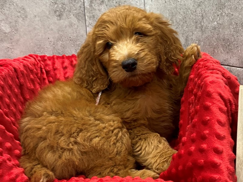 Goldendoodle-Male-Red-2827360-Petland Katy