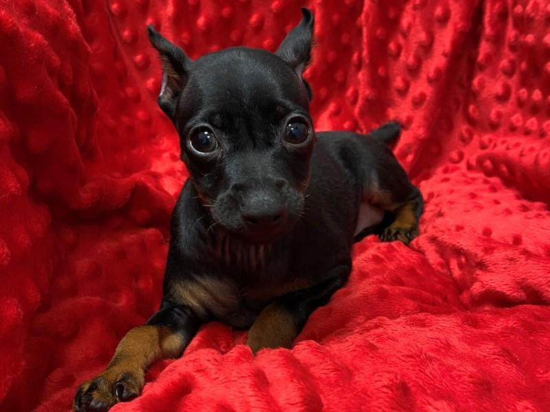 Miniature Pinscher-Male-Black & Tan-2892721-Petland Katy