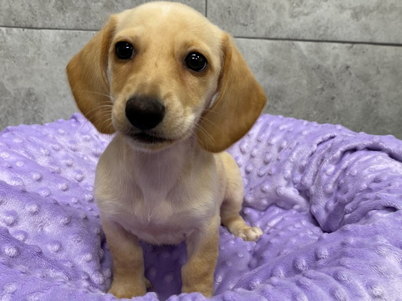 Dachshund-DOG-Female-Cream-2912595-Petland Katy