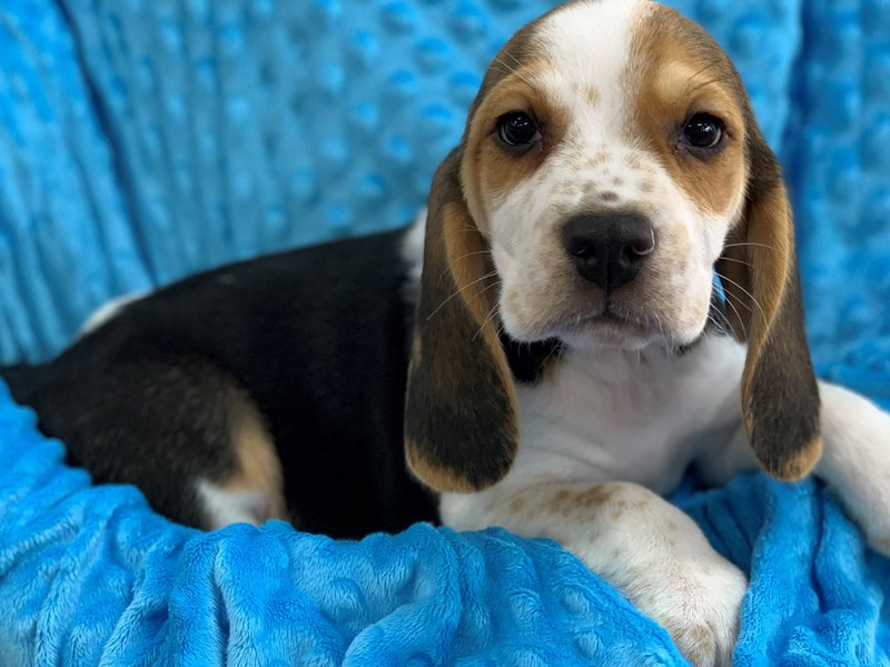 Beagle-DOG-Male-Tri-2919994-Petland Katy