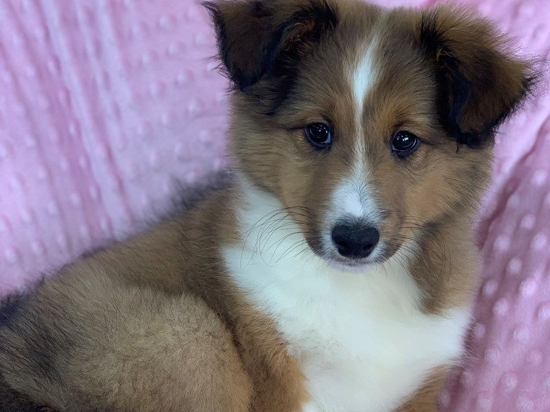 Shetland Sheepdog-Male-Sable and White-2918940-Petland Katy
