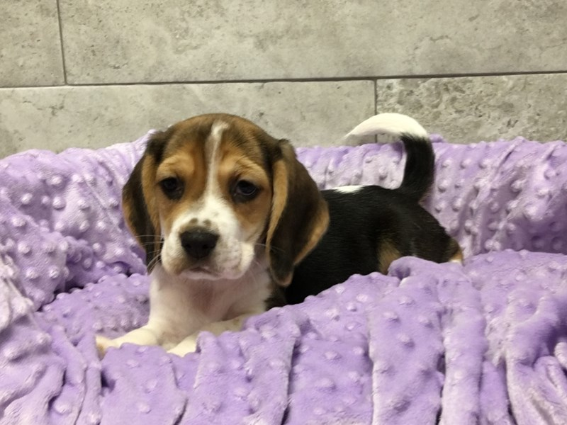 Beagle-Female-Tri-2920007-Petland Katy