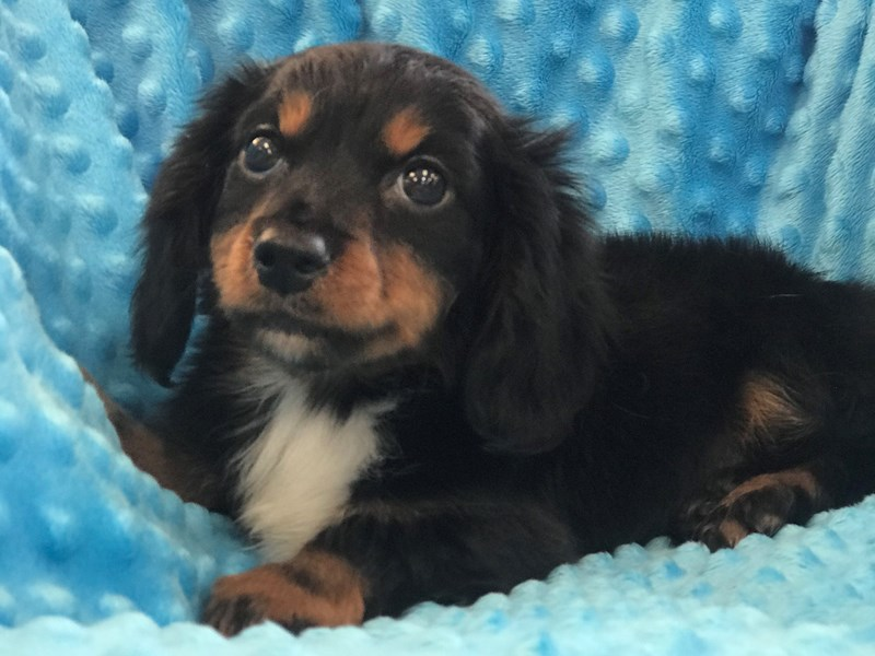 Dachshund-DOG-Male-Black & Tan-2920058-Petland Katy