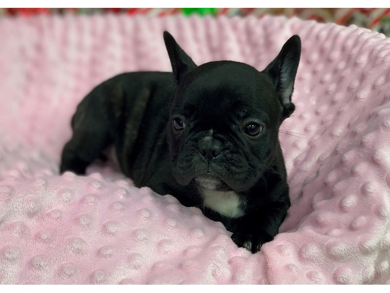 French Bulldog-Female-Black-2935693-Petland Katy