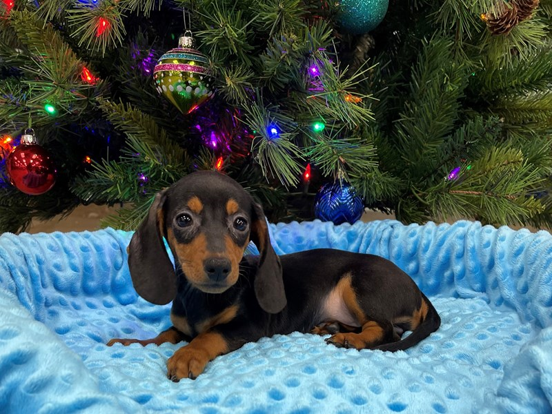 Dachshund-Male-Black & Tan-2927500-Petland Katy