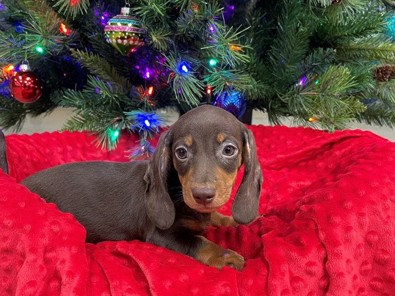 Dachshund-Male-Red & Tan-2927506-Petland Katy