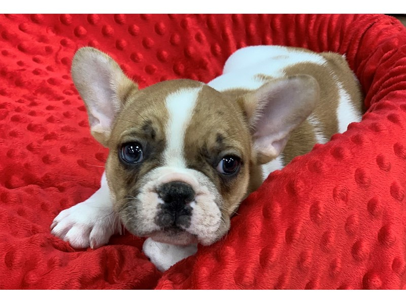 French Bulldog-DOG-Male-Fawn Pied-2935690-Petland Katy
