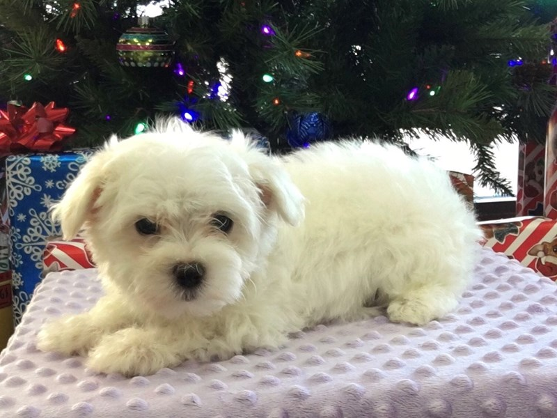 Maltese-Female-White-2942388-Petland Katy