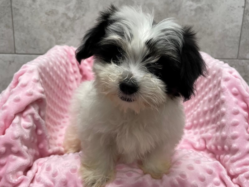 Coton De Tulear-Female-Black & White-2948790-Petland Katy