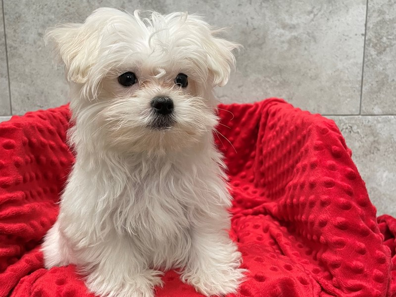 Maltese-Male-White-2948783-Petland Katy