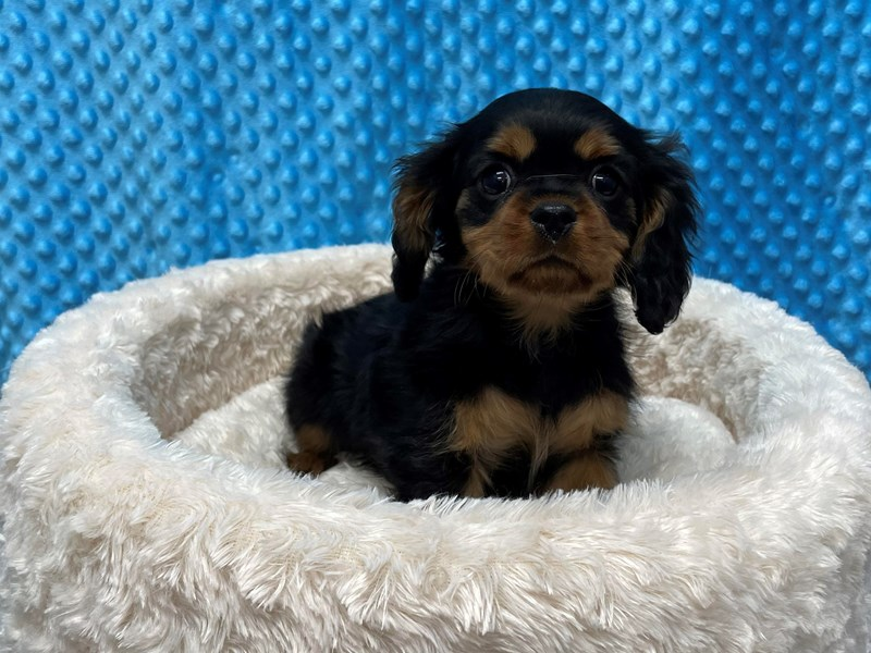 Cavalier King Charles Spaniel-Male-Black & Tan-2966566-Petland Katy