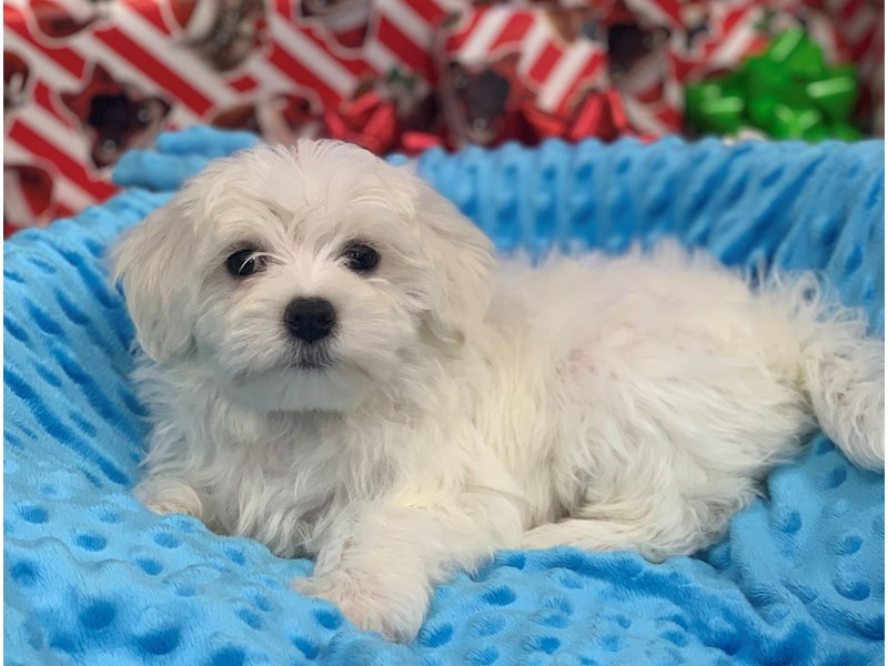 Maltese-DOG-Female-White-2935683-Petland Katy