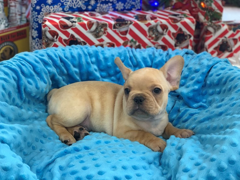 French Bulldog-Male-Cream-2942397-Petland Katy