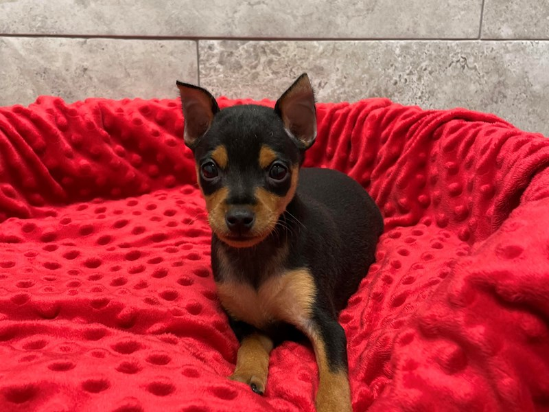 Miniature Pinscher-Male-Black & Tan-2974822-Petland Katy