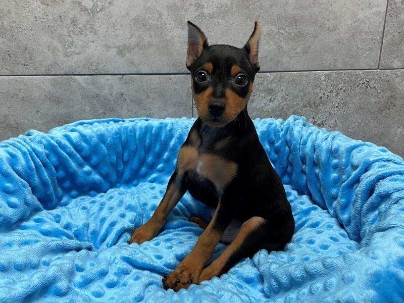 Miniature Pinscher-Male-Black & Tan-2974823-Petland Katy