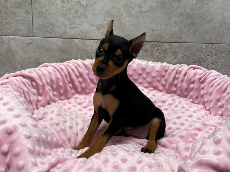 Miniature Pinscher-Female-Black & Tan-2974824-Petland Katy