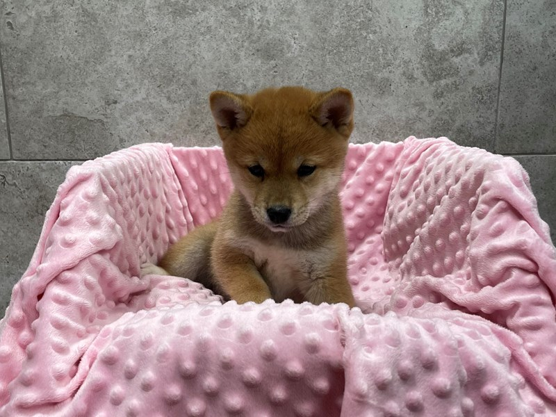 Shiba Inu-DOG-Female-Red-2999959-Petland Katy