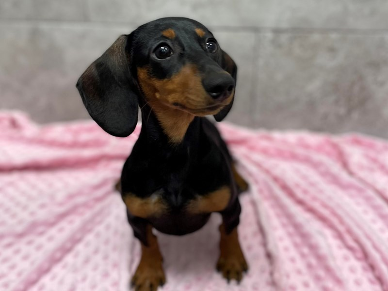 Dachshund-Female-Black & Tan-2927505-Petland Katy