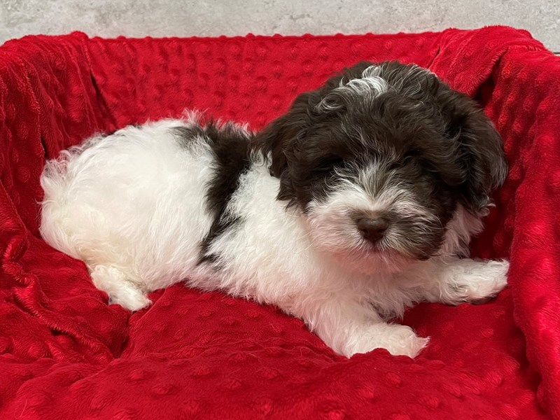 Havanese-Male-chocolate parti-3038234-Petland Katy
