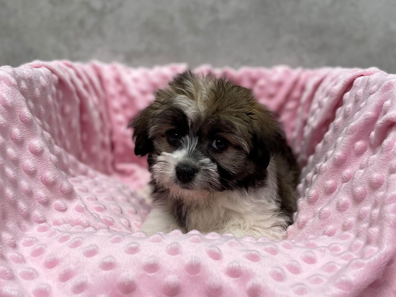 Havanese-Female-Brown & White-3048517-Petland Katy