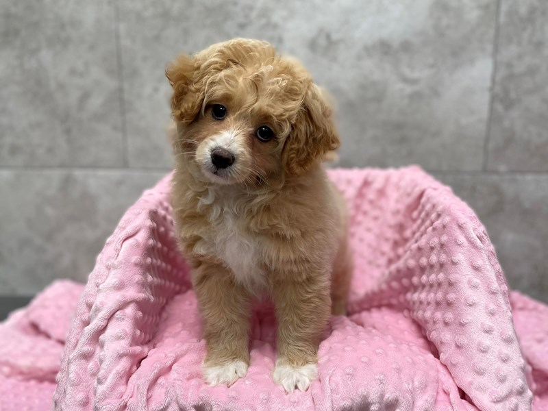 Pomapoo-Female-Cream-3049408-Petland Katy