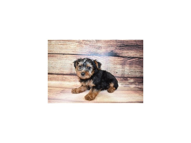 Yorkshire Terrier-Male-Black and Tan-3056928-Petland Katy
