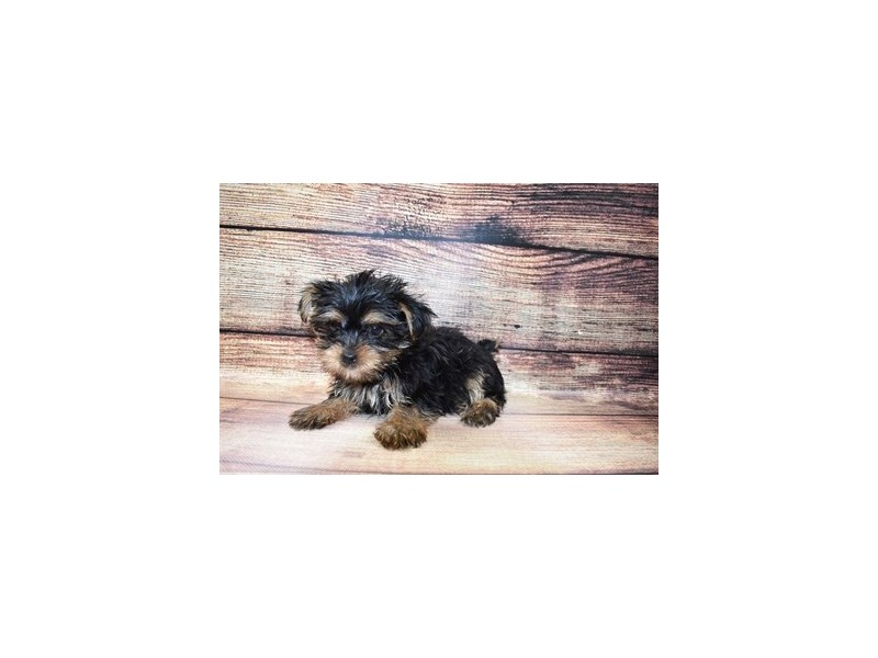 Yorkshire Terrier-Female-Black and Tan-3056929-Petland Katy