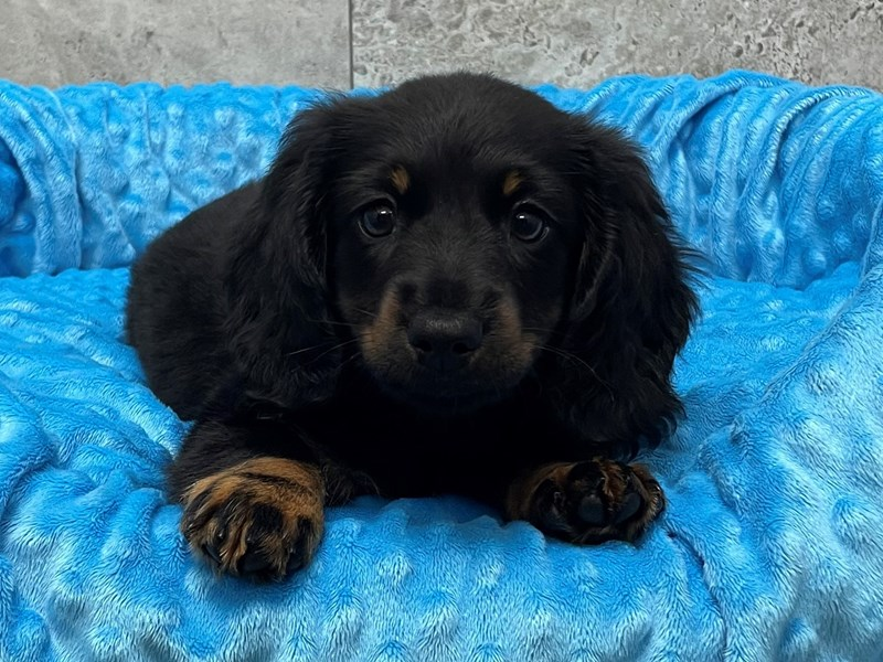 Dachshund-Male-Black & Tan-3124271-Petland Katy