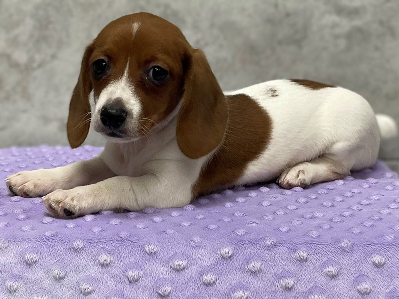 Dachshund-Female-Red Piebald-3136911-Petland Katy
